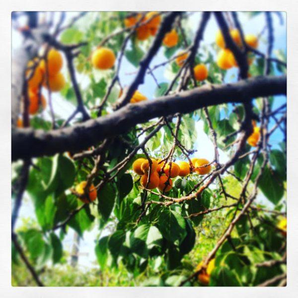 Capilano Apricot Tree, Forest City Plants, Edmonton, Alberta
