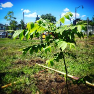Forest City Plants, Butternut Walnut Forest City Plants, Butternut Walnut Seedling in Edmonton