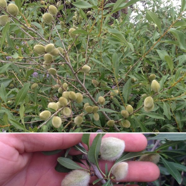 Forest City Plants, Prunus tenella, Russian Almond, Fruit, Nuts