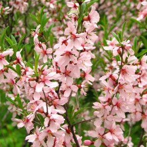 Prunus tenella, Russian Almond