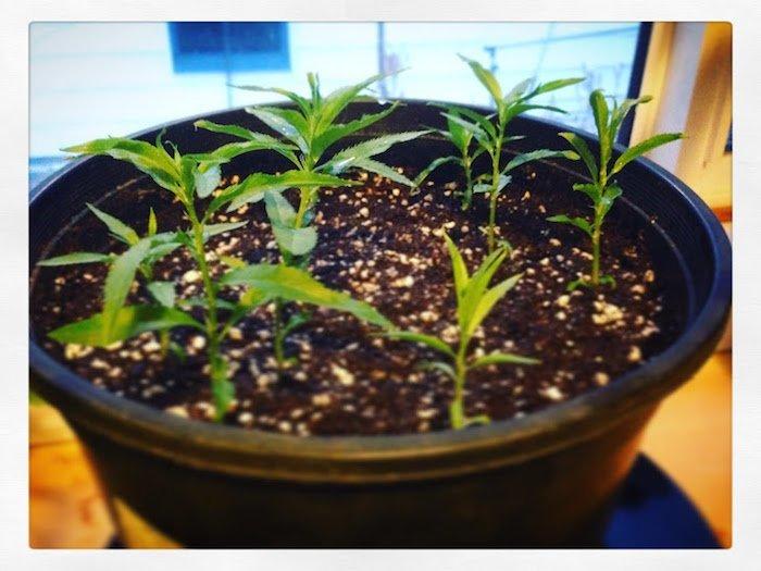 Siberian C Peach seedlings germinating in Edmonton Alberta
