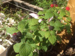 hardy Velma black raspberry found in an Edmonton frontward. Forest City Plants