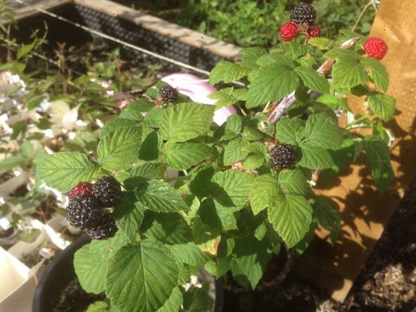 hardy Velma black raspberry found in an Edmonton frontward. Forest City Plants
