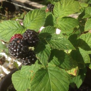 Fruit from a Velma black raspberry. Edmonton, Alberta. Forest City Plants