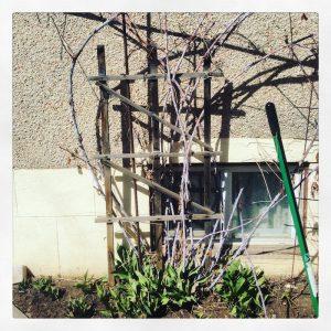 Original Velma black raspberry in a Edmonton front yard. Forest City Plants.