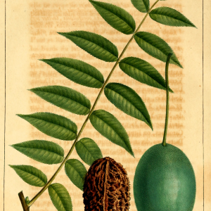 Juglans cinerea, Butternut White Walnut