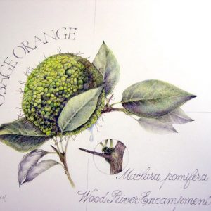 Osage Orange Botanical Drawing