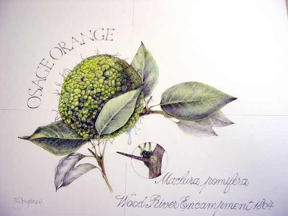 Osage Orange Botanical Drawing