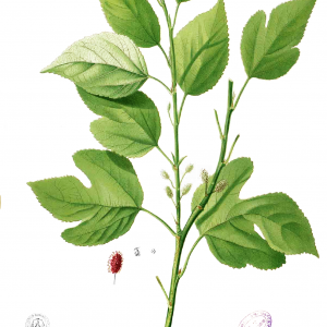 White Russian Mulberry Botanical Drawing