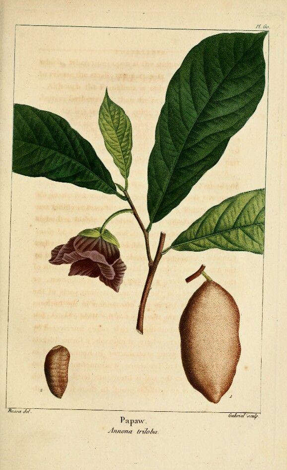 Pawpaw, Asimina triloba, Botanical Drawing, Forest City Plants