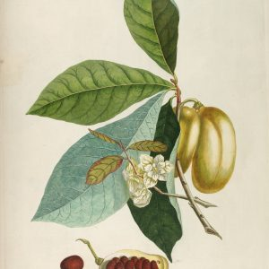 Pawpaw, Asimina triloba, Botanical Drawing, Forest City Plants