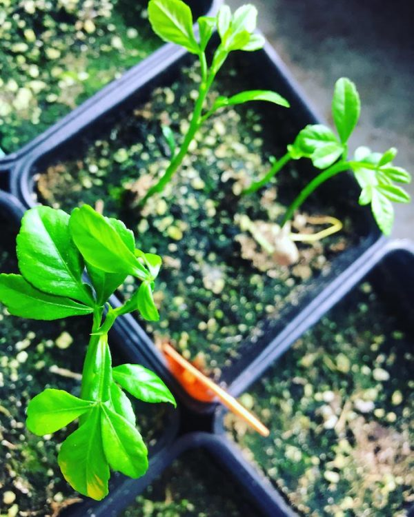 Forest City Plants, Edmonton, Trifoliate Orange