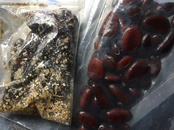 Forest City Plants, Pawpaw, Asimina triloba seeds