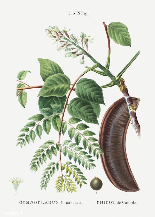 Gymnocladus dioicus, Kentucky Coffeetree
