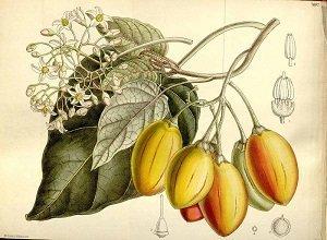 Solanum betaceum, Tamarillo
