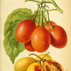 Solanum betaceum, Tamerillo